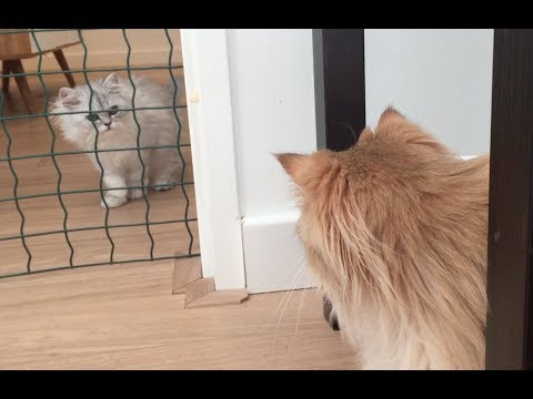 Morgen - Introducing a Cat to a New Cat