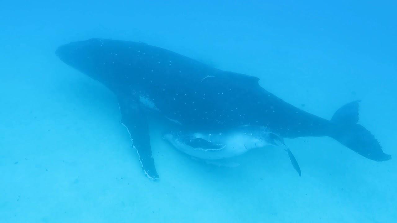 Tonga 2018 Matafonua Lodge Swimming With Humpback Whales