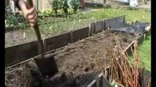 planting raspberry canes.wmv
