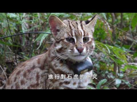 瀕臨絕種 石虎保育從觀念做起 - YouTube