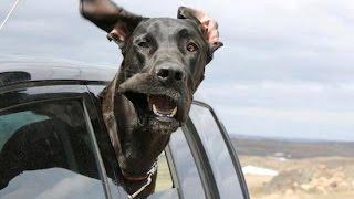 Смешные собаки в машине.