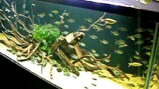 Aquascape: 6' Tank; Manzanita Wood; Moenkhausia Costae