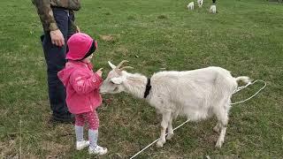 Маленькие дети играют с животными. Даша кормит козу
