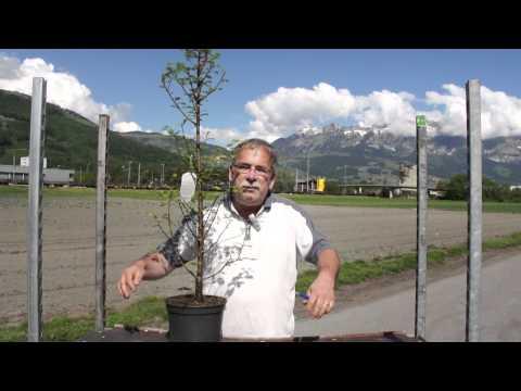 Der Urweltmammutbaum - Metasequoia glyptostroboides