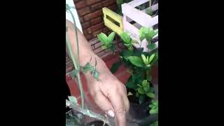 Luciano le regala una planta a la Gringa que no se sabe que es