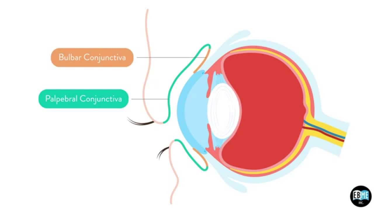 Eye Anatomy Chapter 2 : The Conjunctiva 1 - YouTube