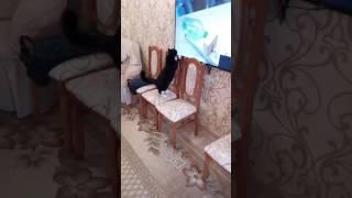 Кто говорил что кошки не смотрят телевизор?