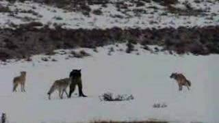 Coyotes Defend Their Den From a Wolf