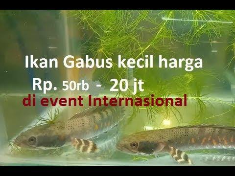 Jenis Ikan Gabus Gambar Ikan 12 Jenis Ikan Gabus Dan Harganya Youtube