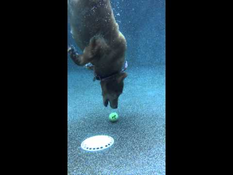 Dog dives to bottom of pool to retrieve ball