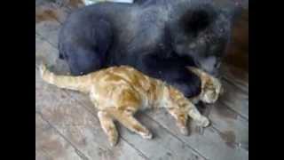Russian cat against bear - ������� ��� ������ �������!