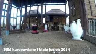 Silki kuropatwiane i białe jesień 2014