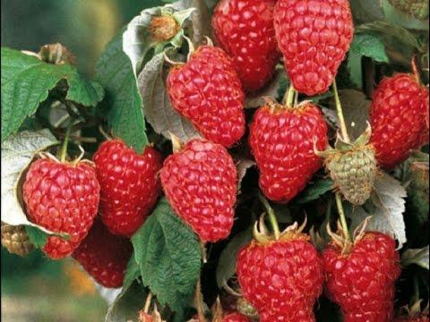 НАШАТЫРНЫЙ СПИРТ - СУПЕР СРЕДСТВО ДЛЯ УРОЖАЯ МАЛИНЫ!МАЛИНА ВЕСНОЙ!   нашатырный   урожайный   средство   урожай   способ   огород   малины   малина   ягода   супер