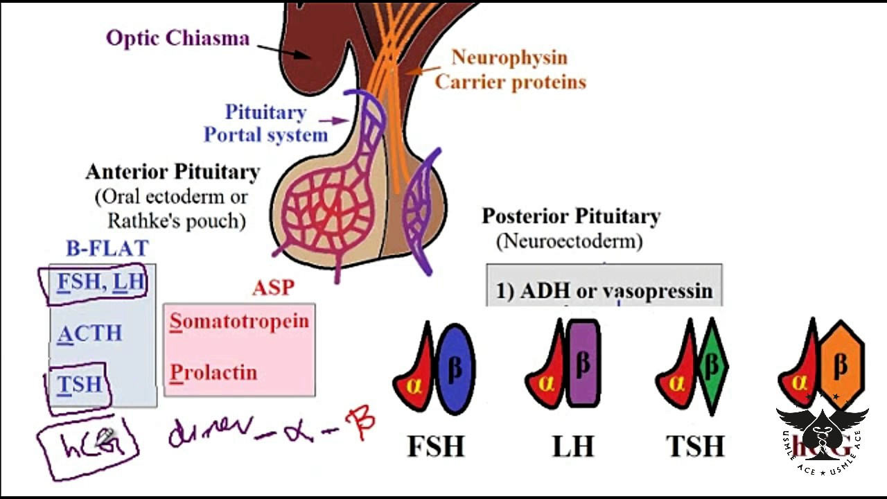 233 Pituitary Gland And Siadh Prolactinoma Gigantism Acromegaly