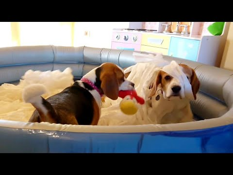 My Cute Dogs Reaction for Toilet Paper Bath and New Toys | @Charlie The Beagle