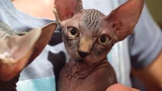 Канадский сфинкс - котята 3 месяца