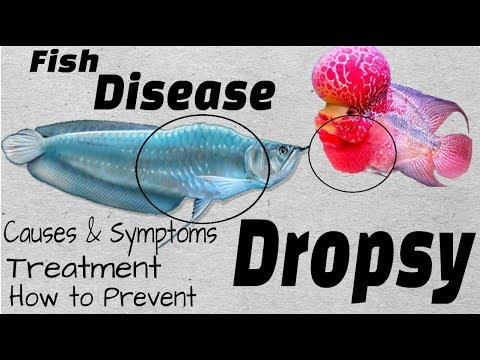 Aquarium Fish Disaster | What Is Dropsy Disease And How To Cure Them.