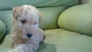 レイクランドテリア LakeLand-Terrier http://www.kerry-k.com/
