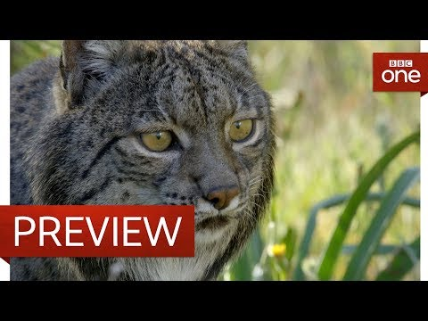 Releasing a lynx into the wild - Big Cats - BBC One