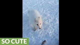 Man trolls friendly wild Arctic fox