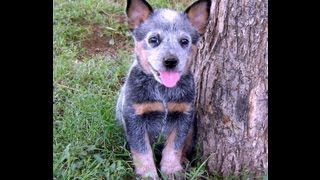 Australian Cattle Dog Breed:details:history Of Australiancattledog:information:news Australiancattle