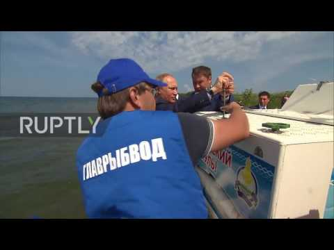 Russia: Plenty More Fish In The Sea? Putin Releases Thousands Of Omul Fish Into Lake Baikal