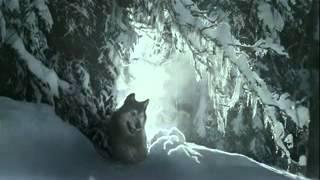 Как волки спасли жизнь человеку.
