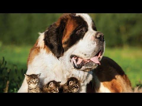 Saint Bernard Köpeği ve Özellikleri