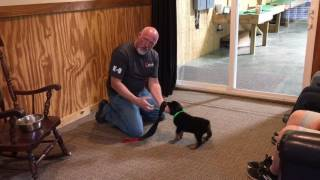"""Rottweiler Puppy """"Trace"""" 7 Wks Early Personal Protection Dog Testing Temperment Evaluation"""
