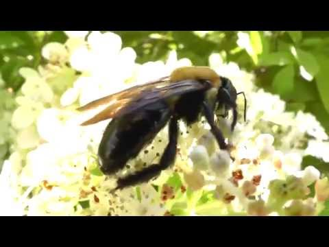 Eastern carpenter bee Xylocopa virginica pollinating flowers