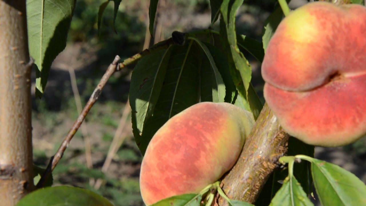 Предлагаем коллекционные инжирные персики. Купить саженцы можно в нашем питомнике на украине. Сорта очень новые. Заходите выбирайте.