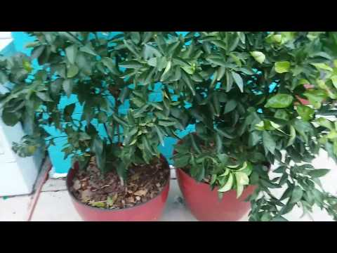 Growing Fruit Trees in Containers Citrus