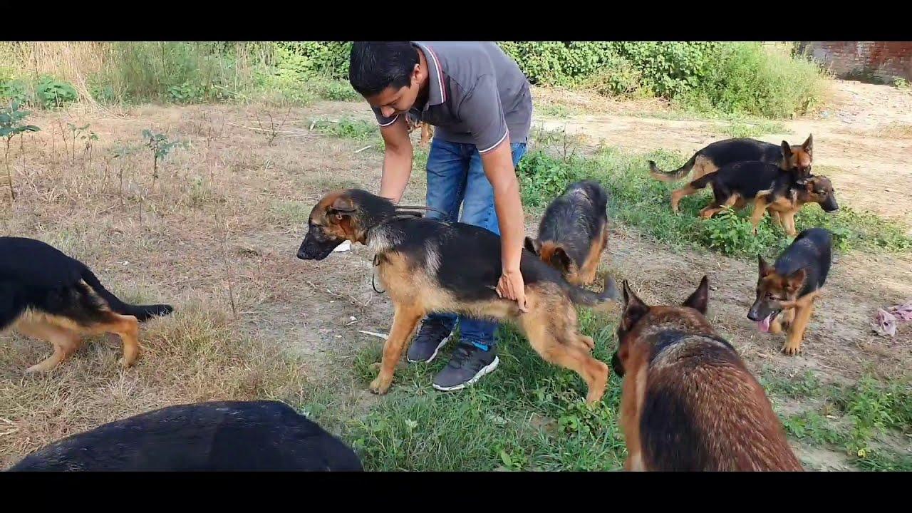 Best Dog Kennel German Shepherd Sandhu Farm Scoobers Youtube
