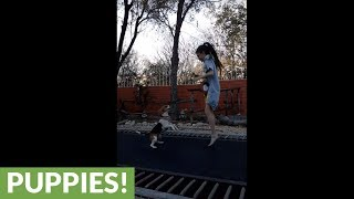 Clever beagle learns how to jump on trampoline