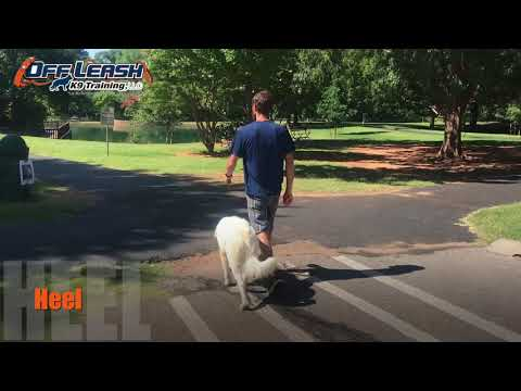 7 Month Old Great Pyrenees | Best Dog Training Oklahoma | Board and Train Camp