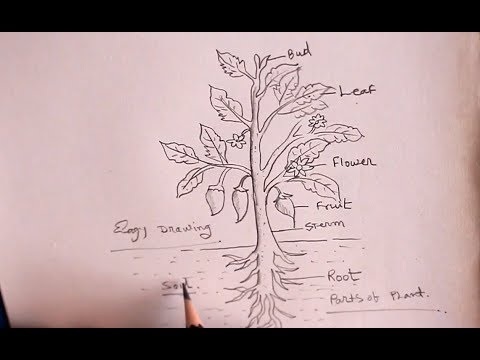 How TO Draw Different Parts Of A Plant/For School Project