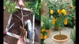 Como enraizar galhos de limão e laranja em 78 dias