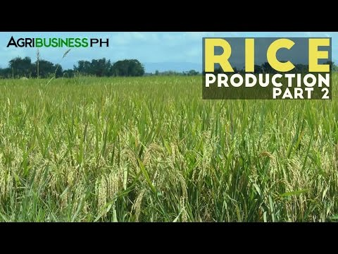 Rice Production Part 2 : Rice Production Process and Management | Agribusiness Philippines