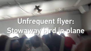 Unfrequent flyer: Stowaway bird in plane