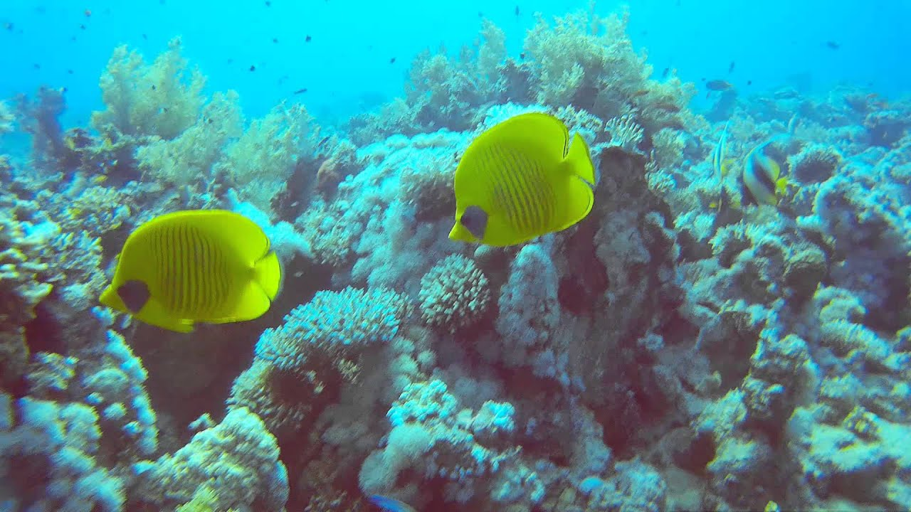 Синхронное плавание рыб-бабочек