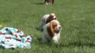 Cockalier Puppies For Sale