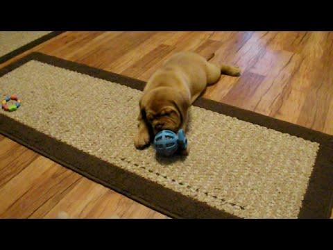 Dogue de Bordeaux Puppy vs Toy - Premiere Roux