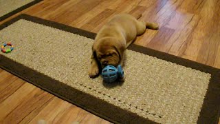 Dogue De Bordeaux Puppy Vs Toy - Premiere Roux
