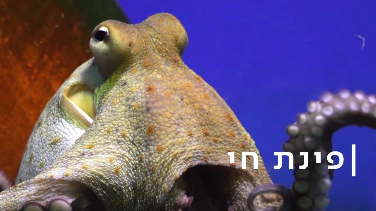 בלע את הגו-פרו: התמנון מירושלים עצבני
