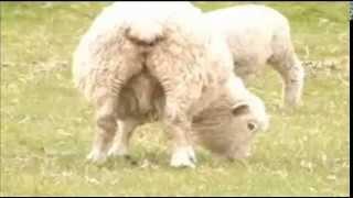 Dirty Sheep Shagger