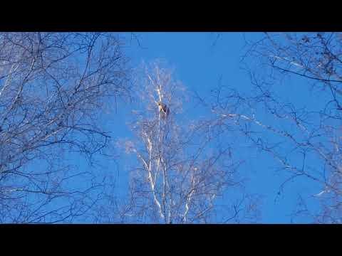 видео: Охота на куницу с Карело-финская лайка (большой кот)
