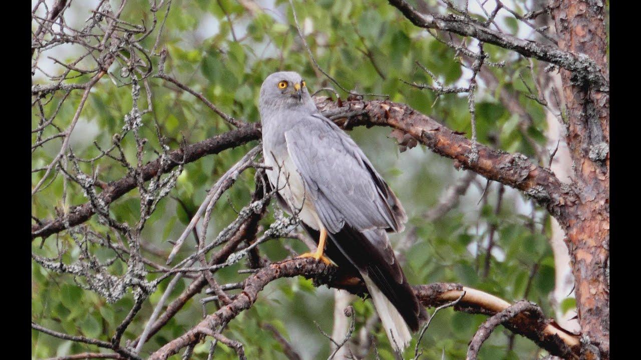 Хищные птицы ленинградской области