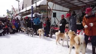 説明 2015.2.15. 秋田県大館市 「アメッコ市」 秋田犬パレード 3回目 ゼロダテの秋田犬 「ののちゃん」も8番目に登場しました。