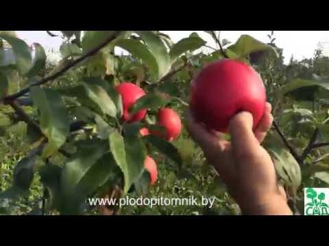 Яблоня сорт Хонейкрисп