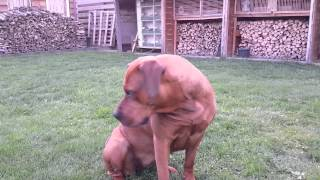 Playing With Our Boerboel X Rottweiler